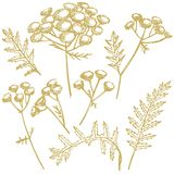 Tansy or daisy flower. Botanical illustration. Good for cosmetics, medicine, treating, aromatherapy, nursing, package. Design, field bouquet. Hand drawn wild royalty free illustration