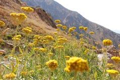 Tansy de la montaña en las cuestas de Tien Shan Imagen de archivo libre de regalías