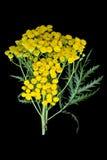 Tansy de plante médicinale (vulgare de Tanacetum) sur un fond noir Image stock