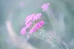 Tansy delicado de la flor Fotos de archivo