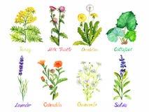 Tansy, dojny oset, dandelion, coltsfoot, lawenda, calendula, chamomile i szałwie, medyczna dzikich kwiatów kolekcja, odizolowywaj obrazy royalty free