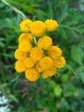 Tansy - flor do campo Foto de Stock