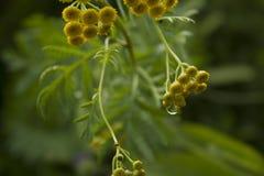 Tansy, flores amarillas con el fondo de los descensos imágenes de archivo libres de regalías