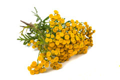 Tansy Royalty Free Stock Image