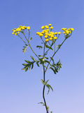 Tansy flowers Stock Photo
