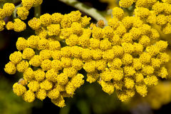 Tansy Flowers. Bunches of Tansy Flowers in the Spring royalty free stock image