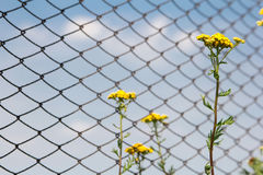 Tansy flowers on the background of the fence. Tansy flowers on the background of the fence from the grid and blue sky Stock Photography