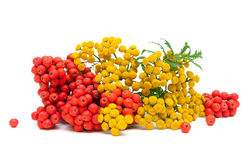 Tansy flowers and berries red mountain ash isolated on a white b Stock Photography