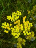 Tansy Flowers. Bright inflorescence of tansy, growing in the field. Beautiful healing flowers-honey. Smelling honey wild flowers. Beautiful healing herb stock images