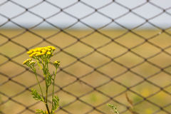 Tansy flowers on the field. Metal fence grating. Tansy flowers on the field. Tansy flowers on the background of the fence from the grid Stock Photo