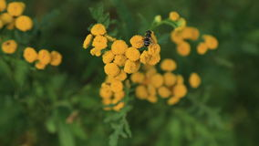 Tansy flowers with fly stock video footage