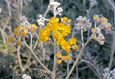 Tansy flowers in the hot summer Royalty Free Stock Photography