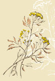 Tansy flowers illustration Royalty Free Stock Photo