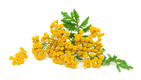 Tansy flowers and leaves on a white background close-up. Yellow flowers and green leaves of tansy isolated on a white background close-up. horizontal photo royalty free stock photo