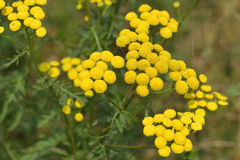 Tansy Royalty Free Stock Photo
