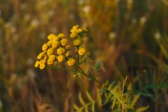 Tansy grass in a meadow. Selective soft focus technique Royalty Free Stock Photo