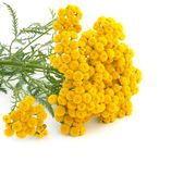 Tansy. Isolated on a white background Stock Image