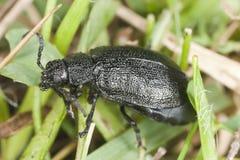 Tansy leaf beetle (Galeruca tanaceti) Stock Images