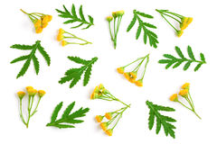 Tansy with leaf isolated on a white background. Medical herb Stock Images