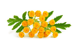 Tansy with leaf isolated on a white background. Medical herb Stock Photography
