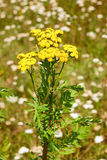 Tansy plant flowering Stock Photo