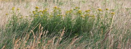 Tansy Plants Stock Photography