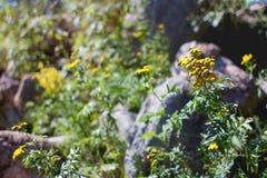 Tansy rośliny Obrazy Royalty Free