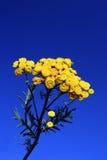 Tansy sob o céu azul Fotos de Stock
