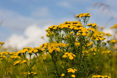 Tansy on a summer meadow Royalty Free Stock Photos