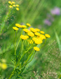Tansy (Tanacetm vulgare) Stock Photos
