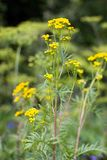 Tansy (Tanacetm vulgare) flower. Royalty Free Stock Images