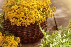 Tansy Tanacetum - odwiecznie zielnych rośliien Compositae Asteraceae Ziele zbierać leczniczy surowi materiały fotografia royalty free