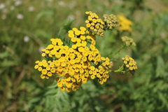 Tansy Royalty Free Stock Images