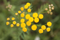 Tansy (Tanacetum vulgare) Stock Photo