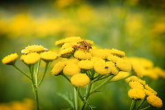 Tansy (Tanacetum vulgare) royalty free stock photos