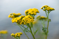 Tansy (Tanacetum vulgare) Royalty Free Stock Photo