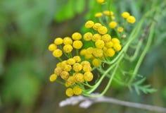 Tansy (Tanacetum vulgare) Royalty Free Stock Image