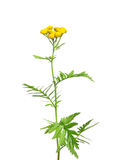 Tansy (Tanacetum vulgare) Royalty Free Stock Image