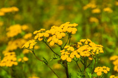 Tansy Tanacetum vulgare Stock Photos