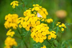Tansy Tanacetum vulgare, Common Tansy, Bitter Buttons, Cow Bitter, Mugwort, Golden Buttons royalty free stock image