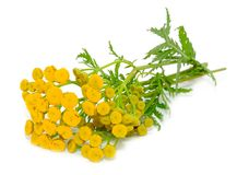 Tansy (Tanacetum Vulgare) Flowers. Isolated on a white background royalty free stock photo
