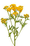 Tansy (Tanacetum Vulgare) flowers. Isolated on white background stock photo