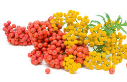 Tansy (Tanacetum Vulgare) Flowers and berries of mountain ash is. Tansy (Tanacetum Vulgare) Flowers and ripe bunches of rowan berries isolated on a white royalty free stock photography