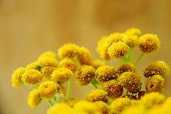 Tansy (Tanacetum vulgare, gemeiner Tansy, bittere Knöpfe, schüchtern bitteres, Beifuß, goldene Knöpfe) ein Stockbild