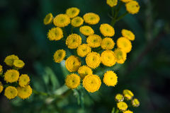 Tansy, Tanacetum vulgare. Tansy herb applicable in folk medicine, fights worms in the body, a natural insect repellent Stock Image