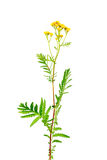 Tansy (Tanacetum vulgare) isolated on white Royalty Free Stock Photography