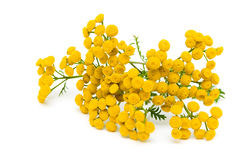 Tansy (Tanacetum Vulgare) isolated on white background Stock Image