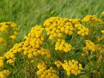 Tansy, Tanacetum vulgare, mit leuchtendem gelbem Blütenstand Stockfotos