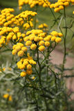Tansy (Tanacetum vulgare) Royalty Free Stock Photography
