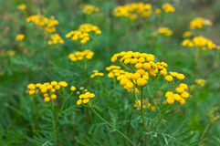 Tansy Tanacetum vulgare plant. Tansy Tanacetum vulgare wild plant in summer stock photography